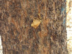 Ascent Tree Services can help with Mountain Pine Beetle infestation