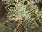Ascent Tree Services and help with Pine Needle Scale